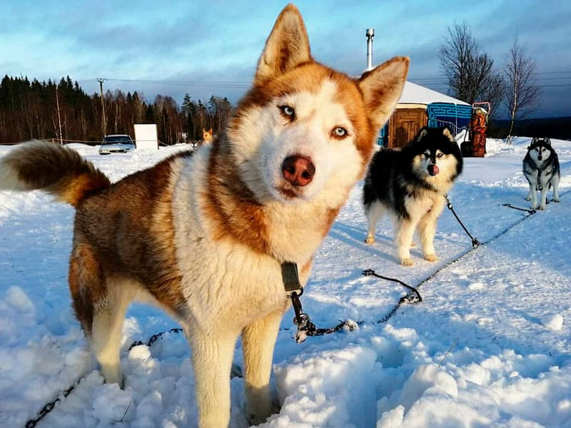 экскурсия по питомнику собак ездовых пород
